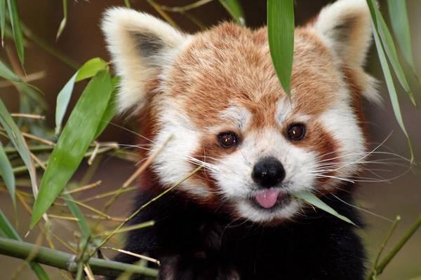 Cuccioli Di Panda Rosso Al Parco Natura Viva Di Bussolengo Weekend Premium