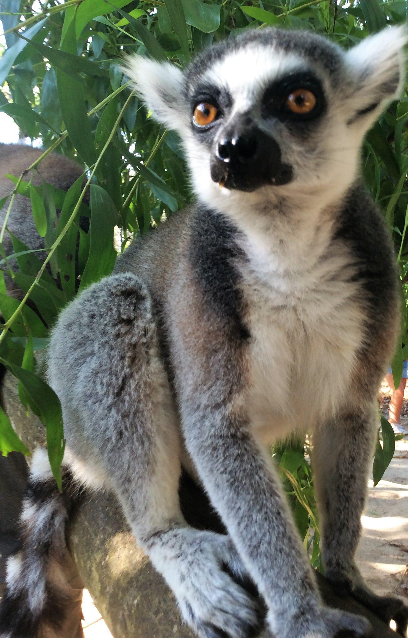 Zanzibar - Lemure a Cheetah's Rock