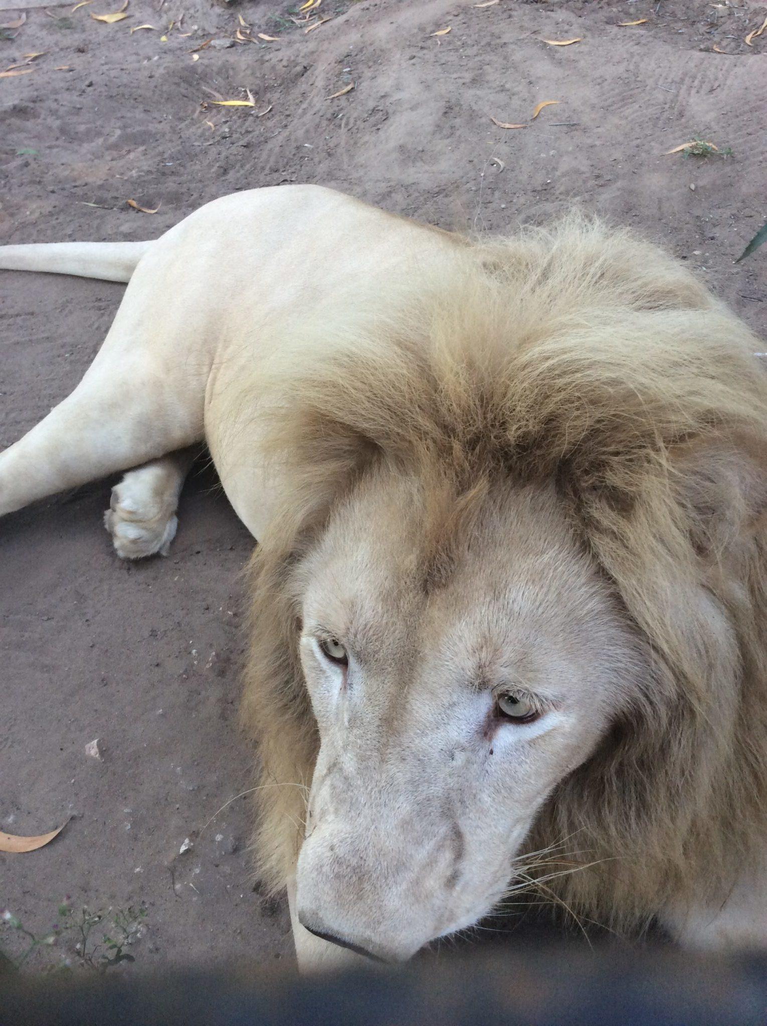 Zanzibar - Leone bianco a Cheetah's Rock