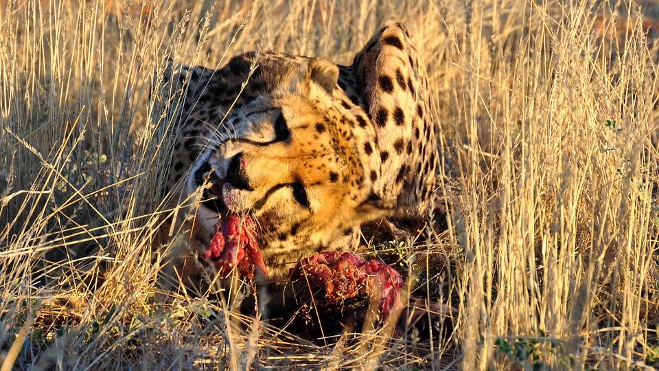 Namibia - Un ghepardo dopo un'estenuante caccia