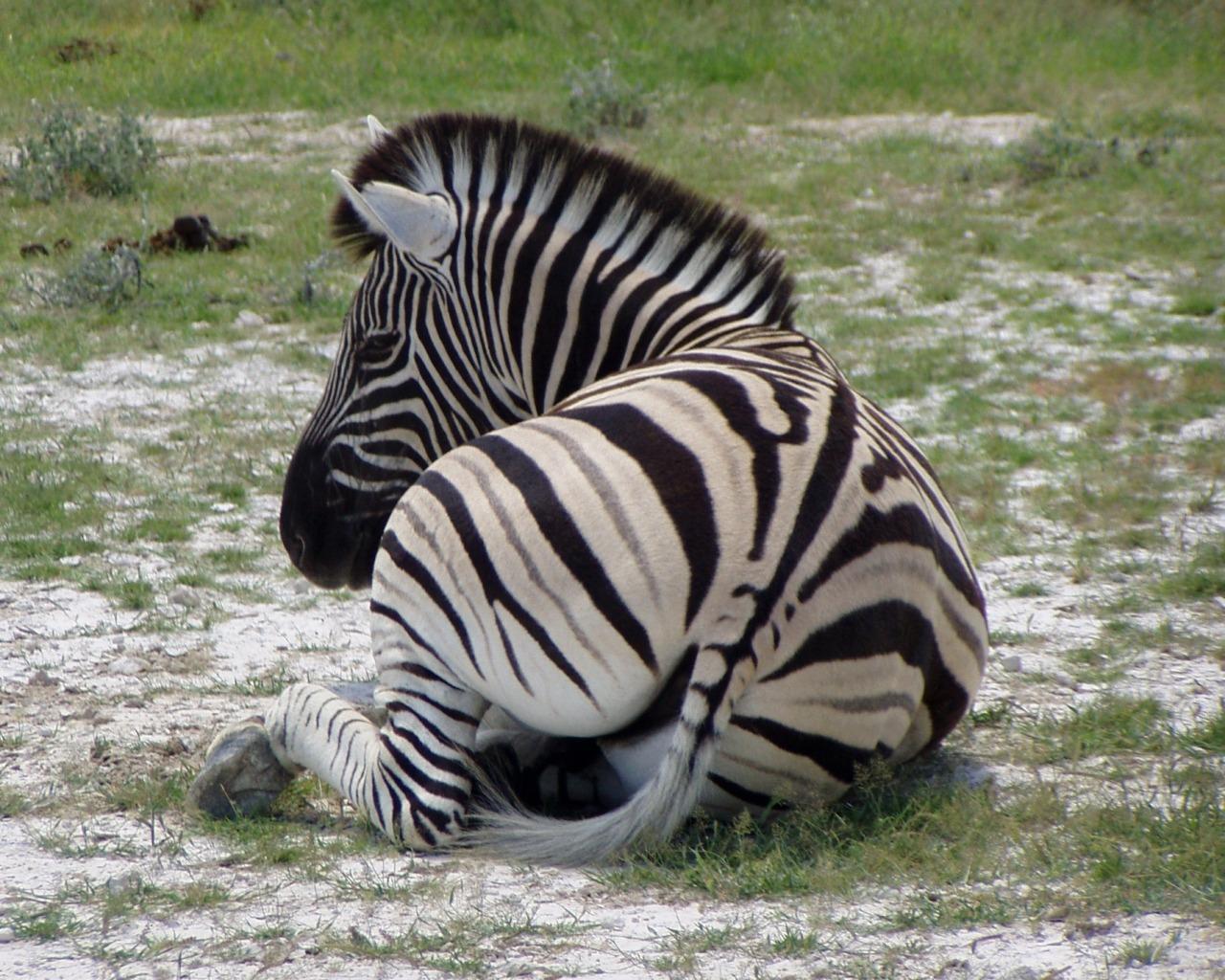 Namibia - una zebra riposa