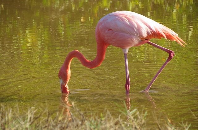 flamingo in acqua