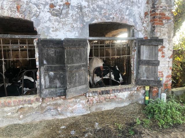 stalla con mucche a Vermezzo